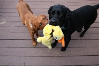 Buster and Roxie with the Evil Duck Toy